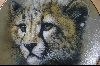 "**1991 ""Cheetah Cub"" Artist Q. Lemonds"